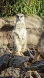 Front on close up of a meerkat stock photography