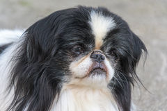 Front close up shot capturing a straight face of a dog. The straight face expression of a dog with long black and white fur coat has been captured from the front stock photography