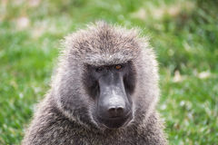 Front close-up view of a baboon with differently colored eyes in the Maasai Mara national park (Kenya) Royalty Free Stock Photography