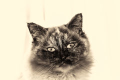 Front closeup of Birman cat head looking at camera. Black and white fine art portrait of purebred cat. Seven months old. Front closeup of a seal tortie point Royalty Free Stock Image
