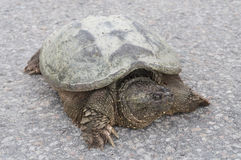 Front closeup of common snapping turtle sunbathing on concrete road Stock Photos