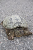 Front closeup of common snapping turtle sunbathing on concrete road Stock Images