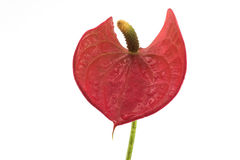Front Detail on Blossom Red Flamingo Lily (Anthurium andreanum) Royalty Free Stock Photo