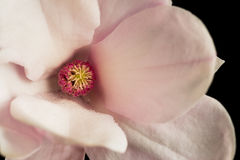 Front detail of magnolia flower on a black background. Close-up of a Kobus-magnolia flower Royalty Free Stock Photos