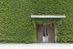 front door surrounded by ivy wall Royalty Free Stock Photo