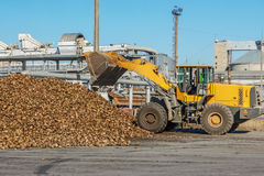Front-end loader in action on the loading of sugar beet at a sugar Stock Image