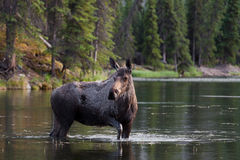 Front facing moose in the lake Royalty Free Stock Photo