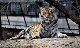 Front Facing Tiger i Harbin arkivbilder