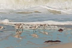 Sanderling sea birds walking along shoreline of a tropical beach. Front of five Sanderling sea birds, walking along a shoreline of a tropical beach in the surf royalty free stock images