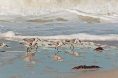 Sanderling sea birds walking along shoreline of a tropical beach Royalty Free Stock Images