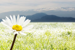 In front a flower and background mountains Royalty Free Stock Photo