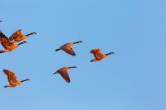 Front Geese Ascending Fotografia de Stock