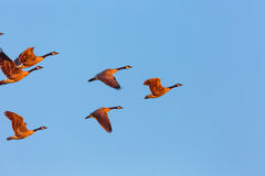 Front Geese Ascending Stock Photography