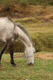Front of a Grey Horse Grazing Royalty Free Stock Photos