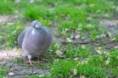 The Front of Grey Pigeon Looking at Camera. The Front of a Grey Pigeon Standing Alone On Green Grass and Looking Funny at the Camera with a Tilted Head Royalty Free Stock Images