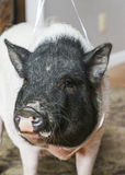 Front head shot of a family pet pig Stock Photos