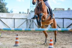 Front Horizontal View Of A Brown Horse Jumping The Obstacle Stock Image