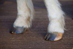 Front Horse-de hoeven drogen en barstten het vereisen van vochtigheid Royalty-vrije Stock Fotografie