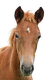 Front of the horse head. Royalty Free Stock Photos