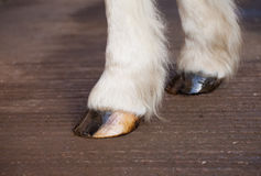 Front horse hooves dressed with oil for moisture. Front hooves oiled to retain moisture and condition stock images
