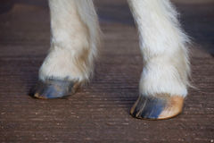 Front Horse hooves dry and cracked needing moisture. Dry trimmed horse hooves without oil applied royalty free stock photography