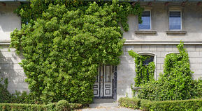 Front of a house overgrown  by ivy Royalty Free Stock Photography