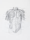 Front human muscles pencil drawing. Detail of front human muscles pencil drawing on white paper Royalty Free Stock Photos