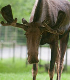 Front image of a moose Royalty Free Stock Image