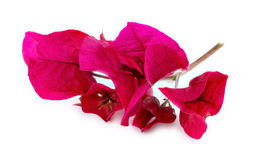 Front macro of beautiful pink bougainvillea flower petals Stock Photography