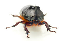 Front Macro view of rhinoceros or unicorn beetle Royalty Free Stock Images