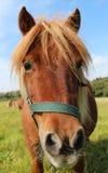 Front mini horse Royalty Free Stock Photo