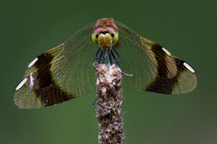 Front Of Wild Yellow Black Dragonfly Royalty Free Stock Image