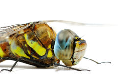 Front part of Aeshna mixta dragonfly body Royalty Free Stock Photography