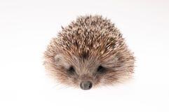 Hedgehog on white background Stock Photography