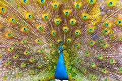 Peacock flaunting tail Stock Photos