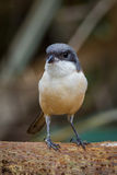 Front portrait close up of Burmese Shrike Royalty Free Stock Photos