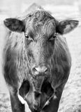 Front portrait of a cow in black and white. Stock Photos