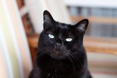 Front portrait of a female black cat royalty free stock photography