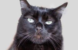 Front portrait of a female black cat stock photos