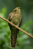 Front portrait of female Plaintive Cuckoo Royalty Free Stock Photo