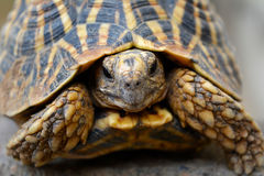 Front profile close up of star tortoise stock image