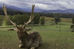 Front profile of old stag with horns against mountains stock image