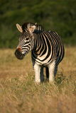 Front profile portrait of a burchells zebra Stock Photography