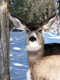 Front and Rear. Female mule deer gazing out from behind another royalty free stock photos