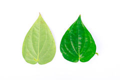 Front and rear of the betel leaf Stock Image