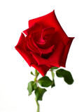 Front of red rose Royalty Free Stock Photos