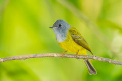 Front side of  Grey-headed Canary-flycatcher Royalty Free Stock Photos