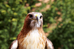 Front side head shot of a red-tailed hawk Stock Images