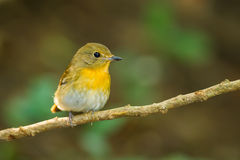 Front side portrait of  Hill Blue Flycatcher Royalty Free Stock Image