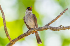 Front side portrait of Sooty-headed bulbul(Pycnonotus aurigaster) Royalty Free Stock Photo